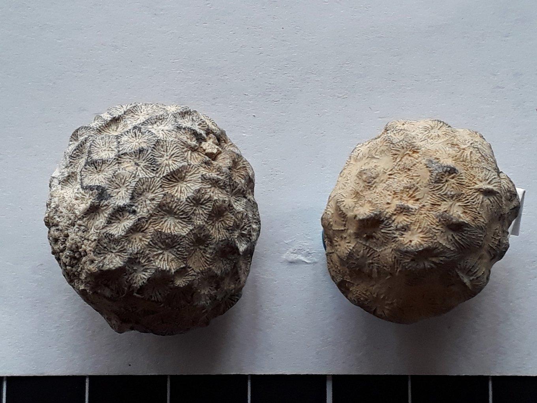 Siderofungia irregularis.jpg
