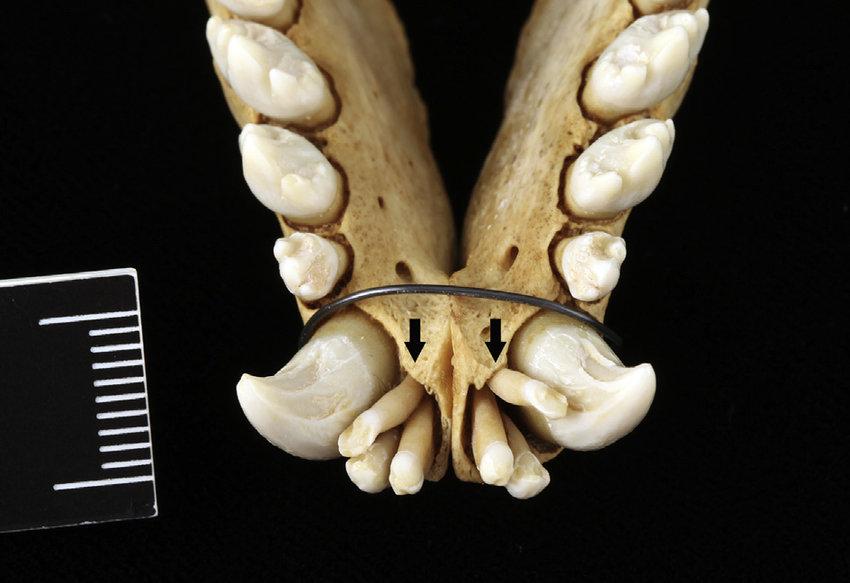 FemaleHarborSeal-first-incisor-teeth-black.png.b57b239fd4b6f78ddcf03b8e90a7ff9c.png