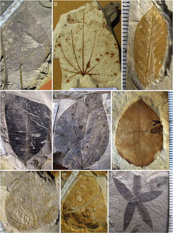 Leaf-fossils-from-the-Gurha-Mine-Attenuate-apices-are-also-common-in-broader-leaves.png
