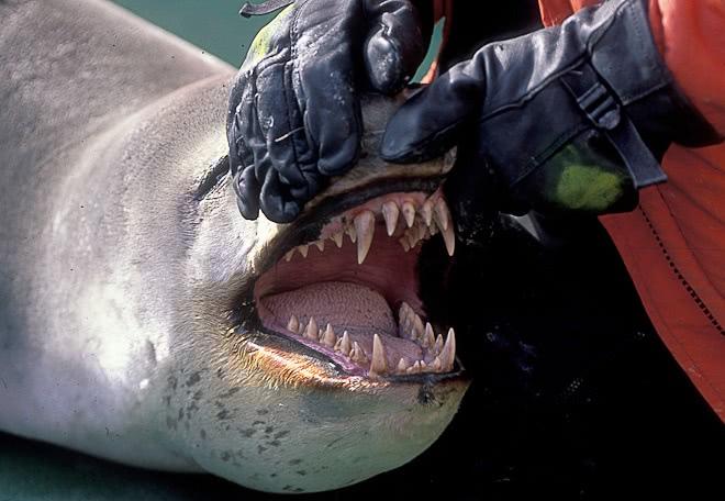 Leopard_seal_teeth.jpg.6797116dbd4d93394064cf4d9f02df4f.jpg
