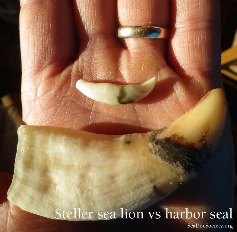 Steller-and-Harbor-seal-canines-in-hand.thumb.jpg.2656366c22141f57f3e6decf108b8275.jpg