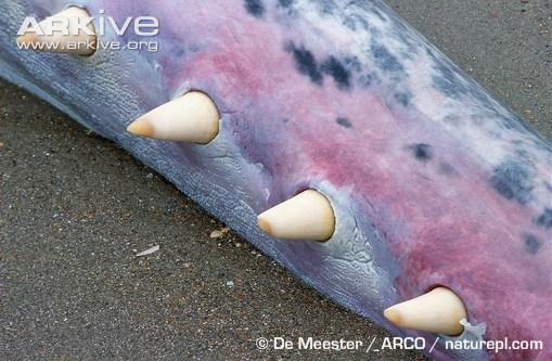 Stranded-sperm-whale-teeth-detailYellow.jpg.373eb0ae775a3e2174f96cd81aa0bfd4.jpg