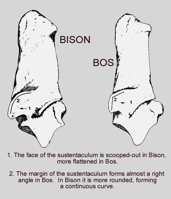 bison_bos_calc_A.JPG