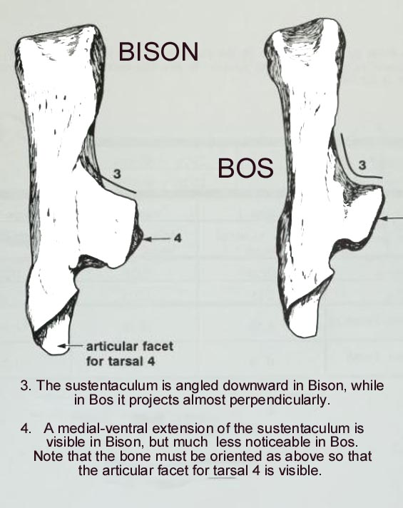 bison_bos_calc_B.JPG