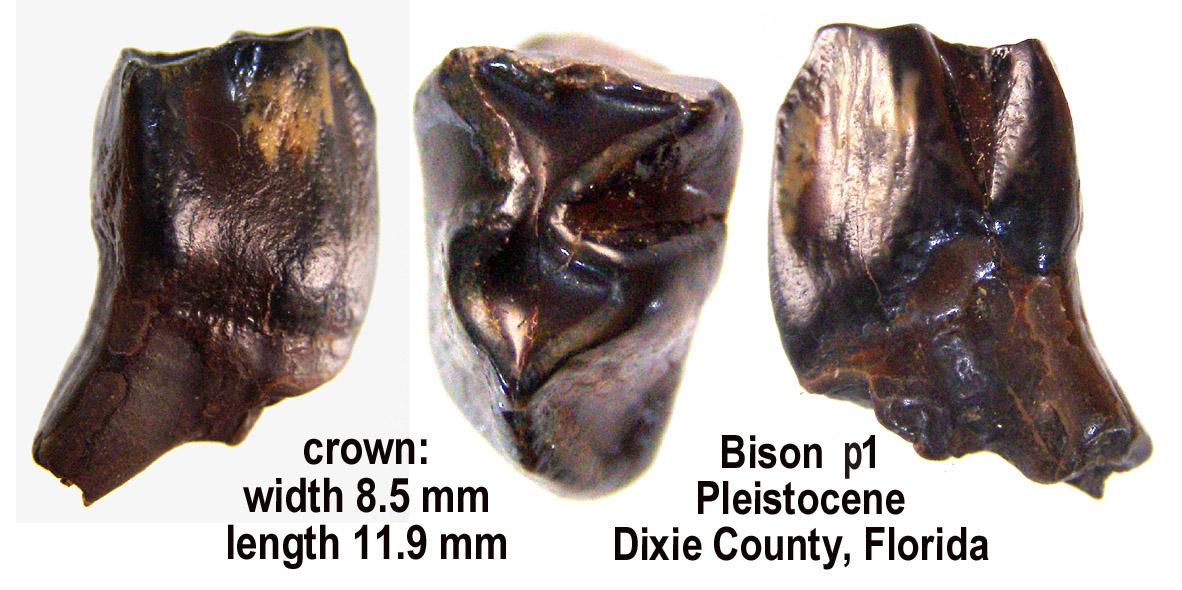 bison_p1.JPG.41b0b7947dfd4cd1bcd9cb8157c2e7f2.JPG