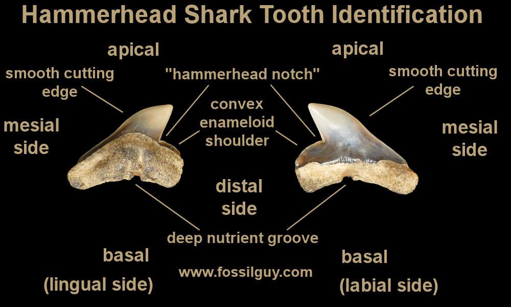 hammerhead-sharktooth-identification.jpg.c5ce4ffe14884c41bea98e11c3aa496e.jpg