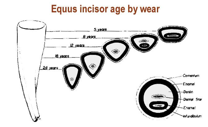 horse_incisor_age_wear.JPG