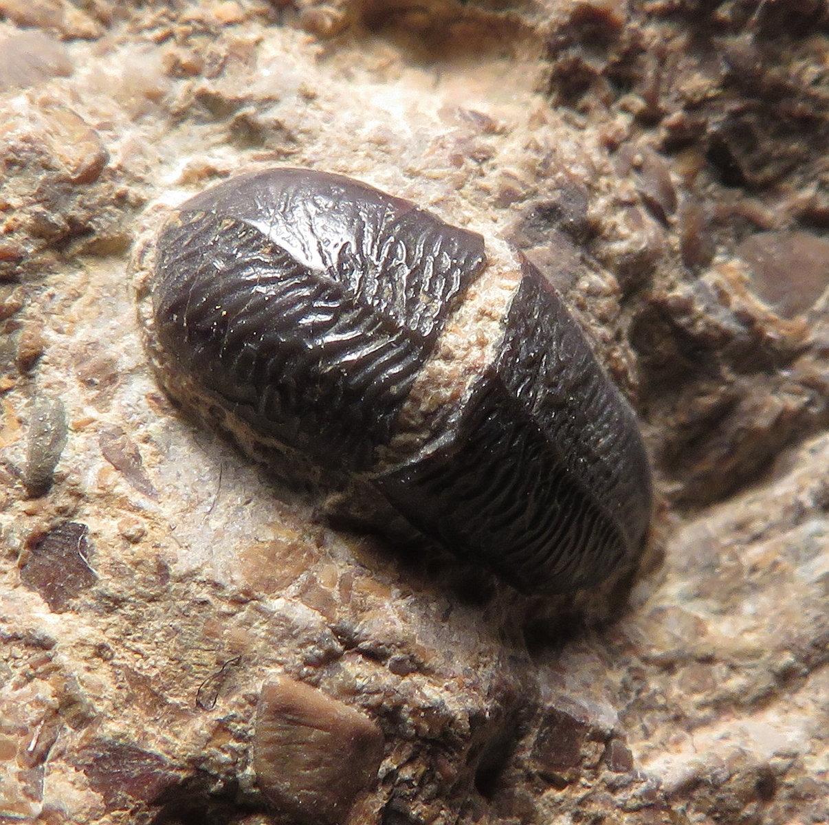 Acrodus tooth