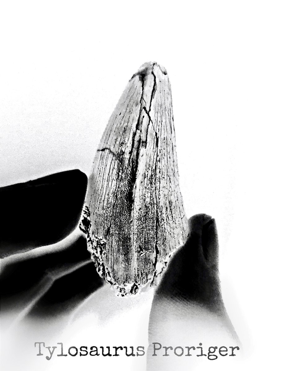 T. proriger tooth texture