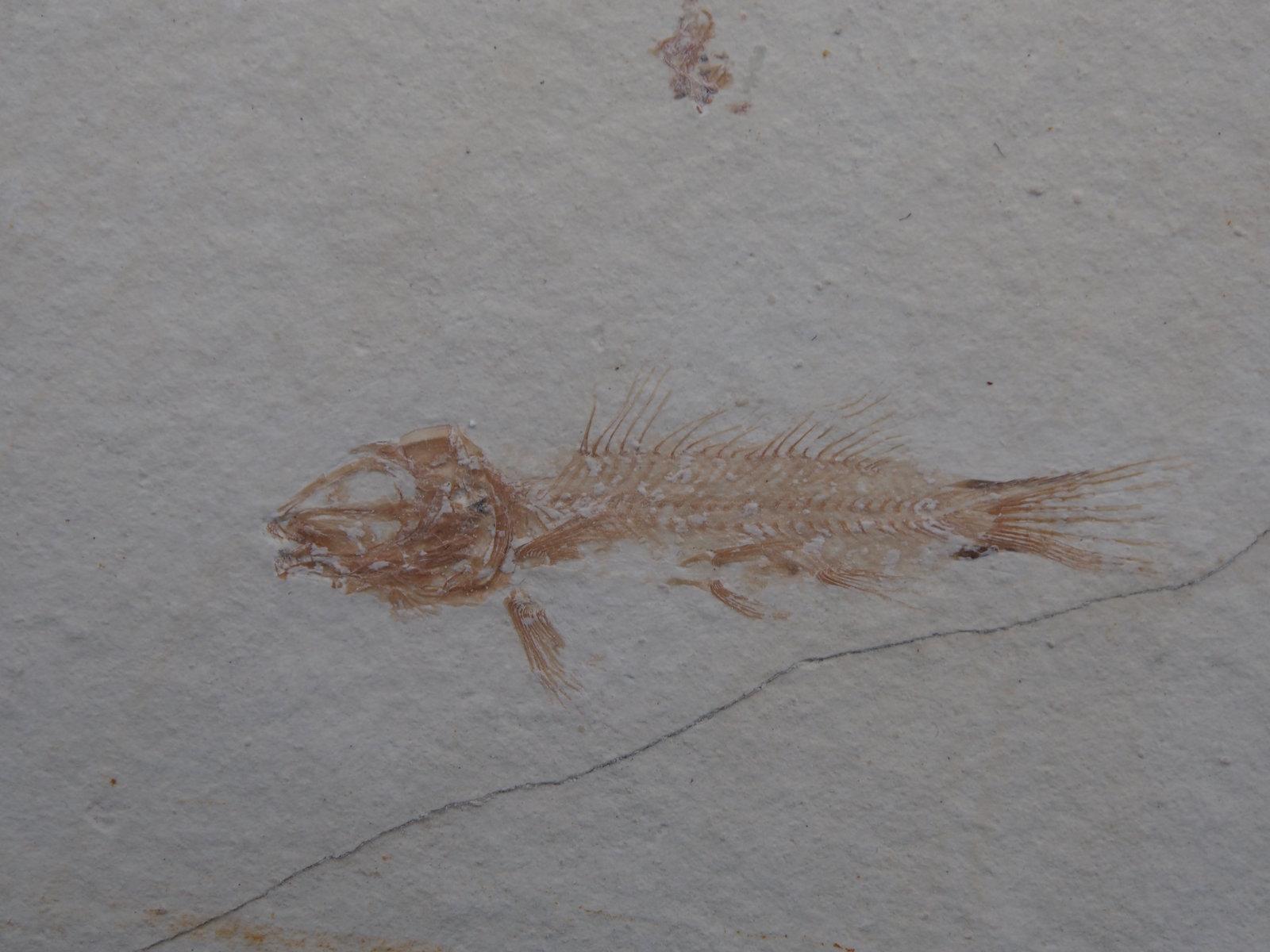 Notagogus denticulatus Agassiz 1843