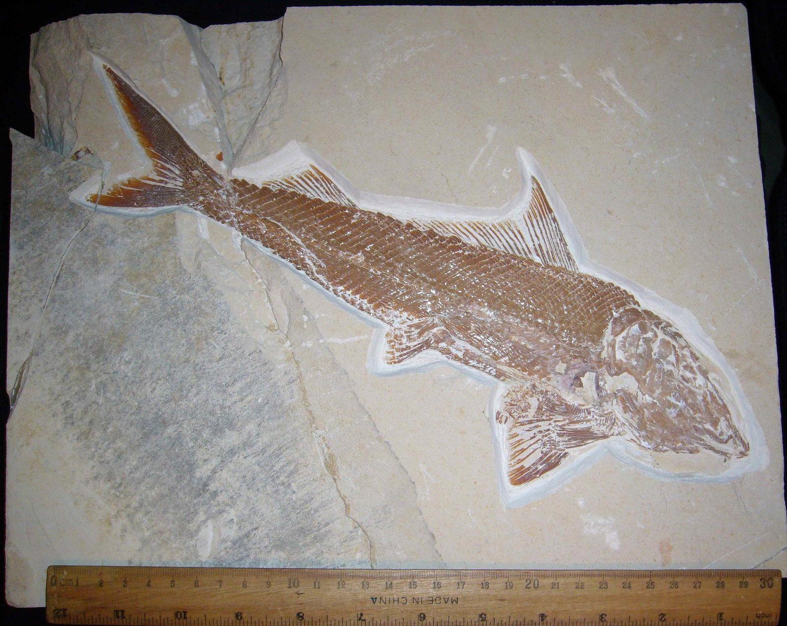 RNC 0301 (a) (Petalopteryx Syriacus).jpg