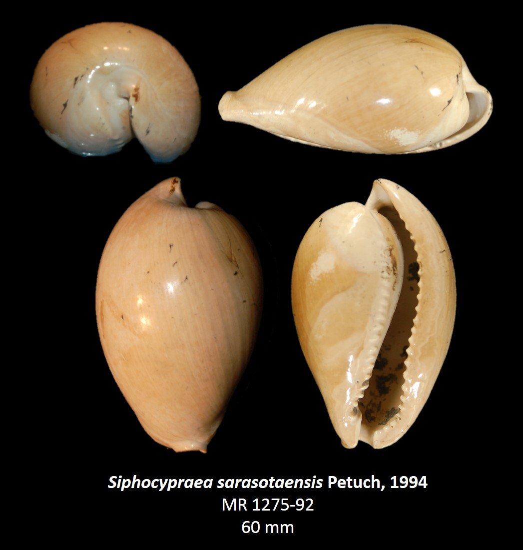 Siphocypraea sarasotaensis