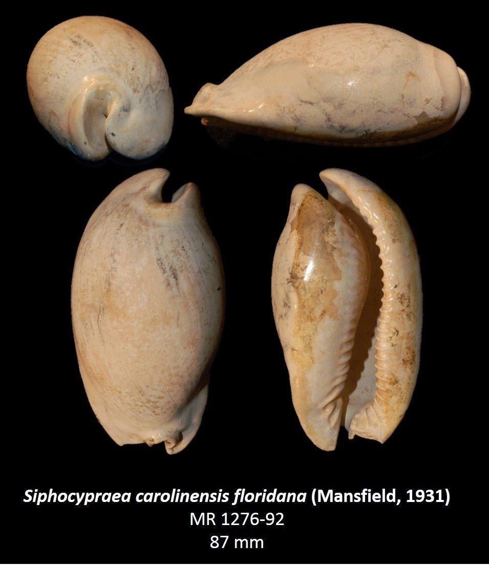 Siphocypraea carolinesis floridana