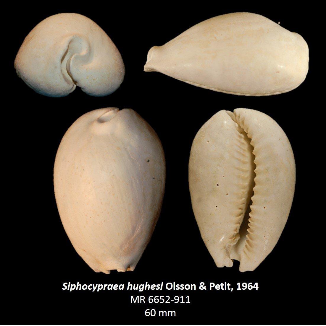 Siphocypraea hughesi