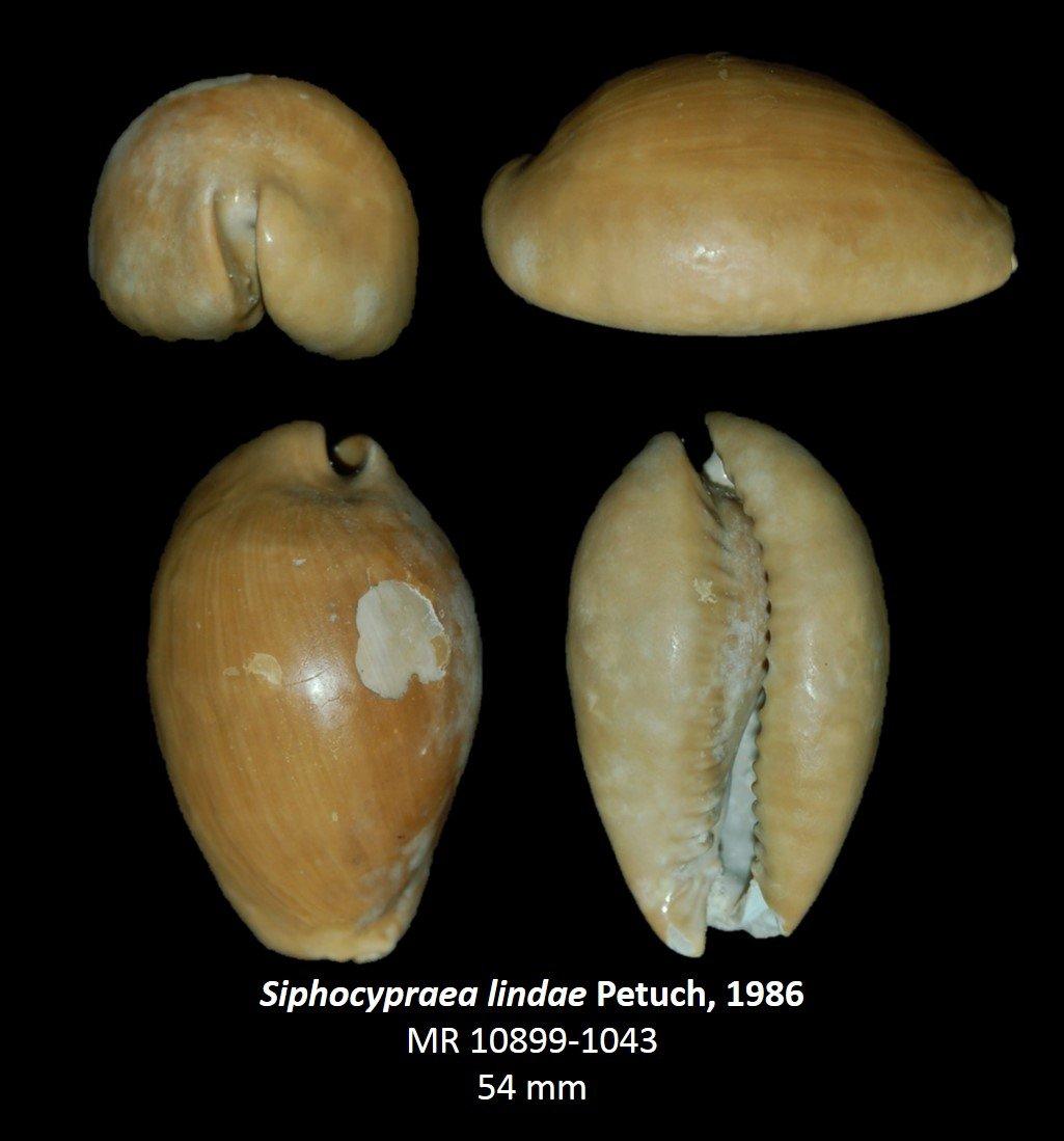 Siphocypraea lindae