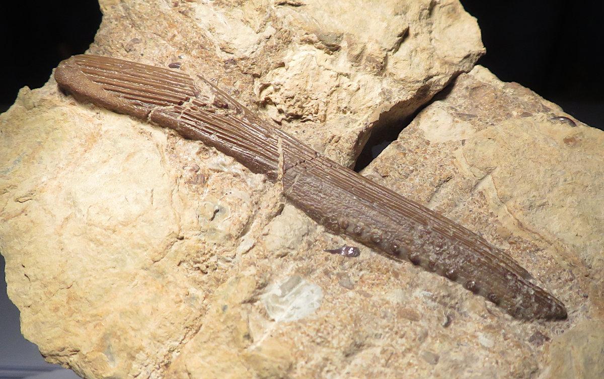 Hybodus fin spine