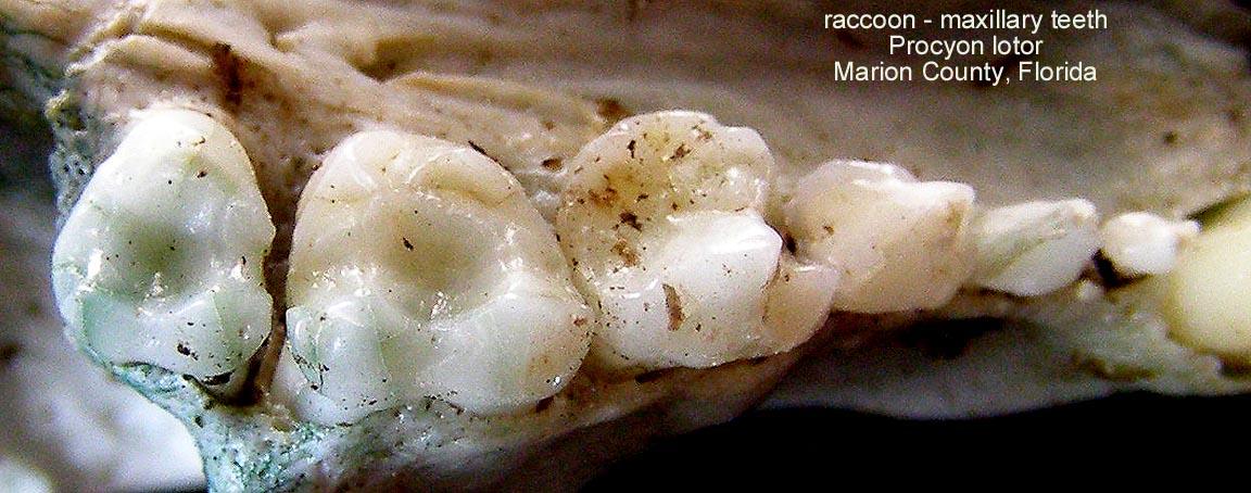 raccoonmaxillaryteeth.JPG