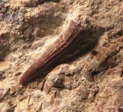 Nothosaur tooth