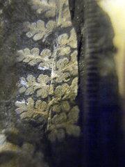 Eusphenopteris (3)_Llewellyn Formation_Pennsylvanian_St Clair PA_Pennsylvanian