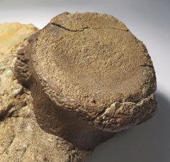Nothosaur vertebra