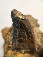Dakotaraptor Tooth