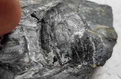 Carboniferous Plant Fossils in My Collection