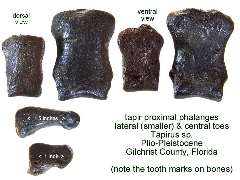 tapir_phalanges_proximal.JPG.1552681479e4c9d5446f0ca2db41fc8a.JPG
