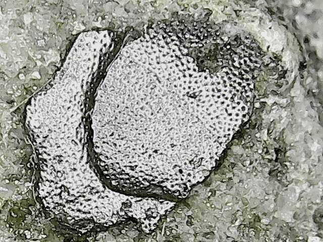 lungfish skull bone or scale 2.jpg