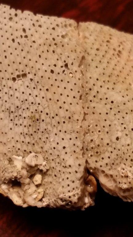 Bryozoan3.thumb.jpg.2e3ec365ada47f702fb6a8815e43596d.jpg