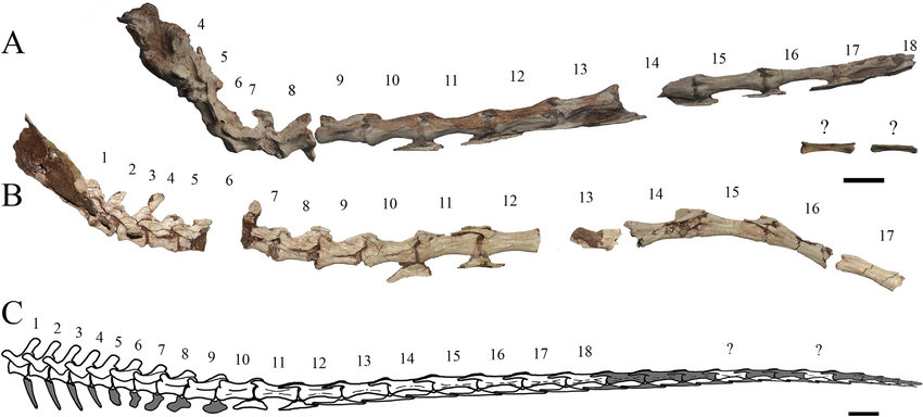 Preserved-caudal-vertebrae-of-the-Buitreraptor-gonzalezorum-in-right-lateral-view-A.png.jpg