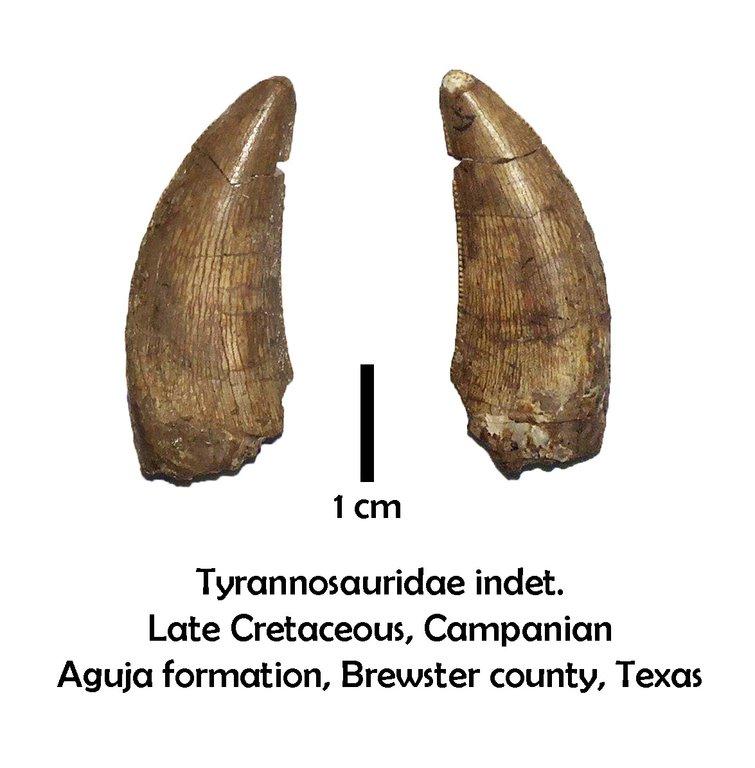 agujatyrannosaur.thumb.jpg.e9e16ba42aba1119431ac115bce6984d.jpg