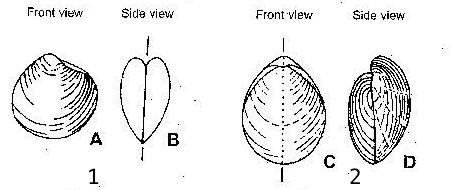 brachiopods_versus_bivalves_illustrated1_t-14562D91547566A19CC.jpg