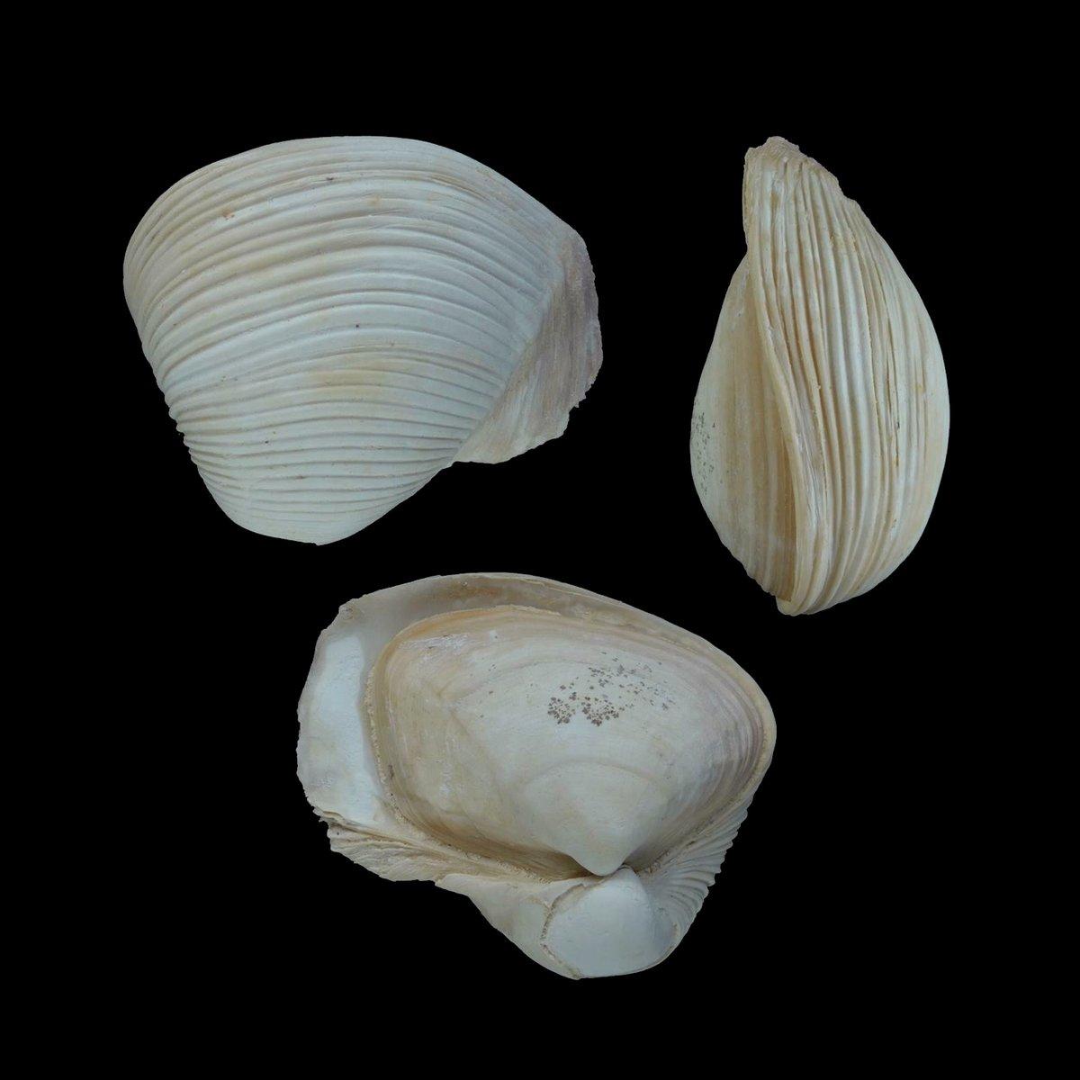 Bicorbula altavillensis