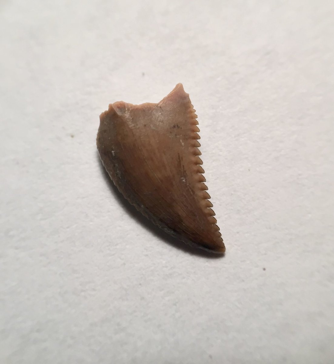Troodon (Stenonychosaurus?) Tooth