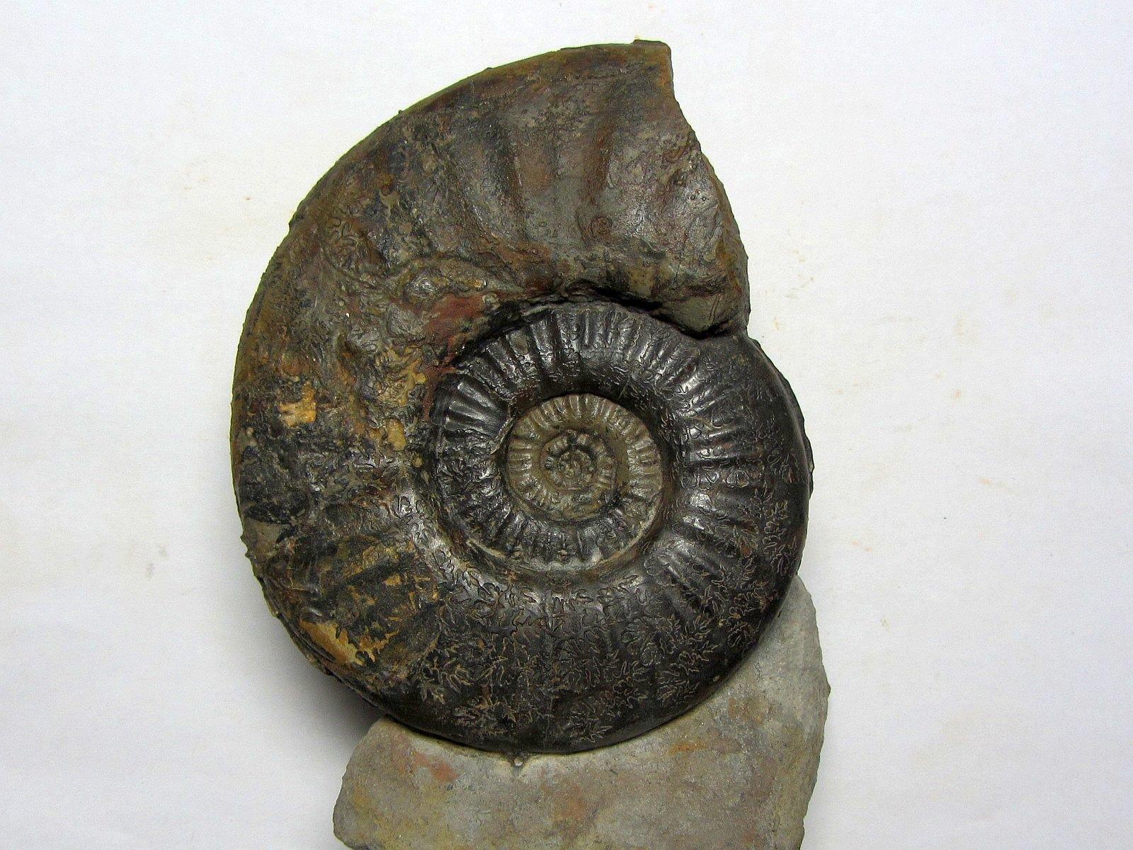 Sonninia (Euhoploceras) adicra (Waagen 1867)