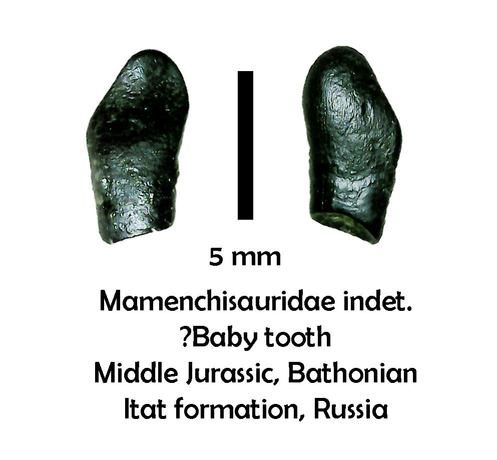 Mamenchisaurid sauropod tooth