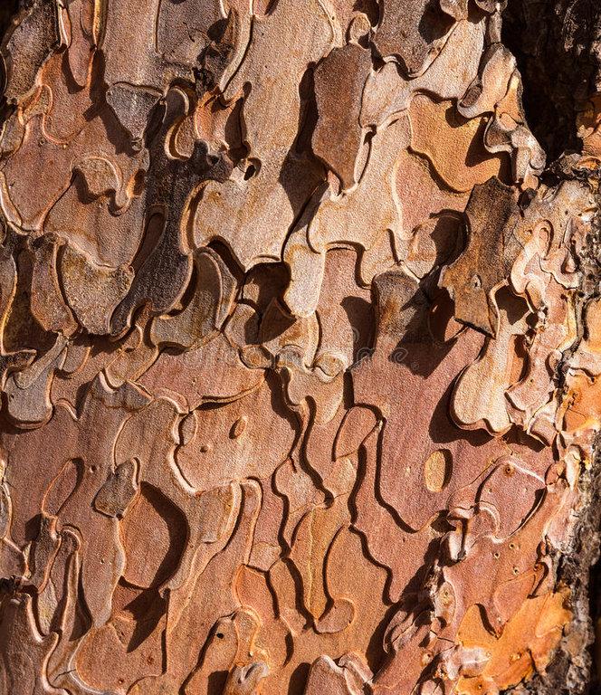 pine-tree-trunk-bark-detail-grand-canyon-arizona-usa-35468925.jpg