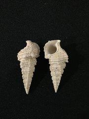 Pyrasus angulatus