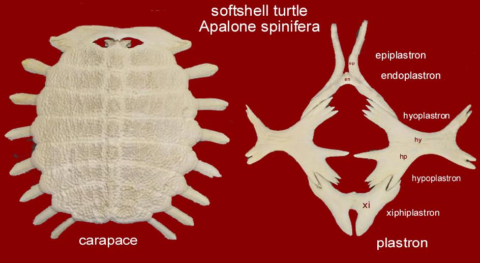 turtle_apalone.JPG.133a17559875d075be4cfdfcc01b8563.JPG