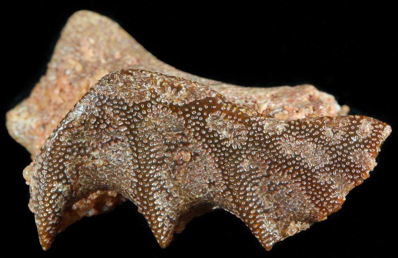 www.FossilEra.com-specimen-15-50510-5.thumb.jpg.f6641580b80088ed03f85c03f945b6da.jpg
