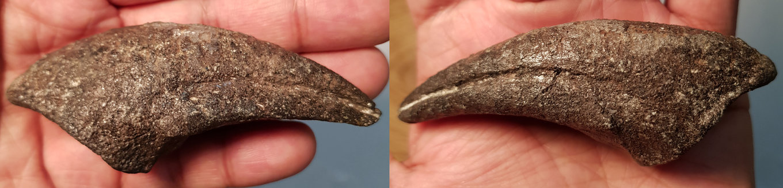 Allosaurus claw 1.jpg