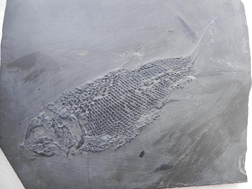 asialepidotus_shingyiensis_su_1959_20150513_1175499858.jpg.f30f80628da7684fd598d46367babc8b.jpg