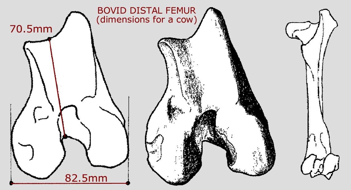 bovid_distal_femur_B.JPG