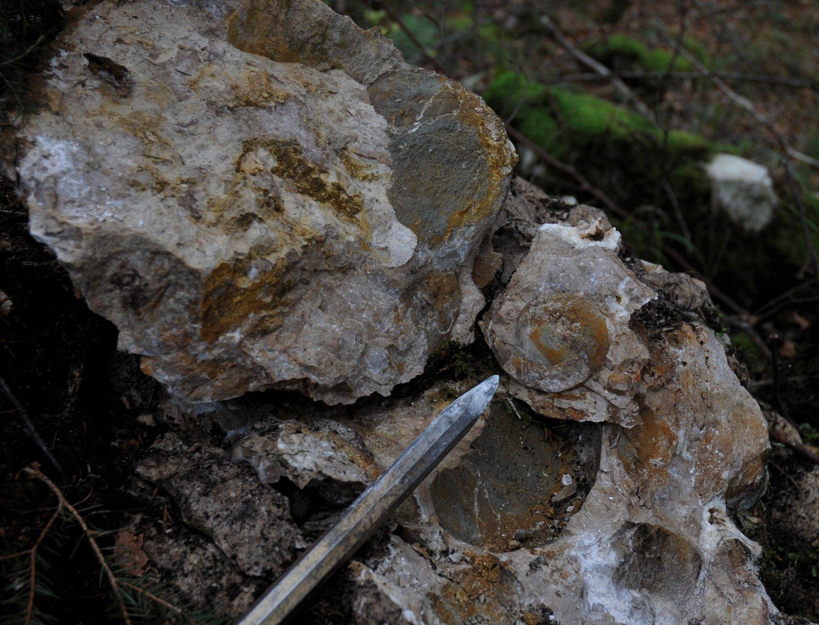 Triassic-Carnian,Joannites sp..JPG
