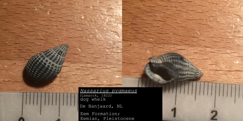 Nassarius pygmaeus