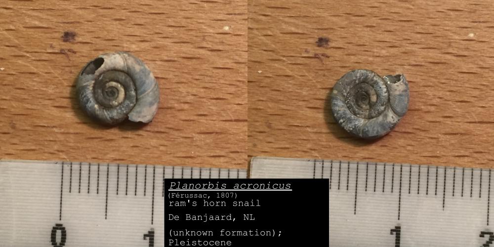 The Mollusca of the Banjaard