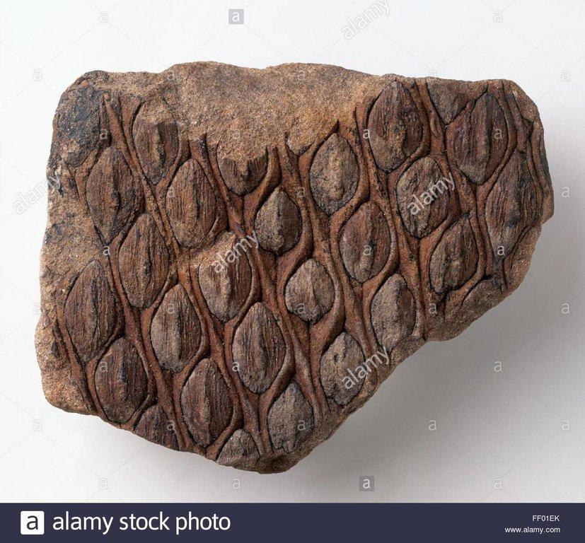lycopods-lepidodendron-fossilised-bark-of-carboniferous-lepidodendron-FF01EK.jpg
