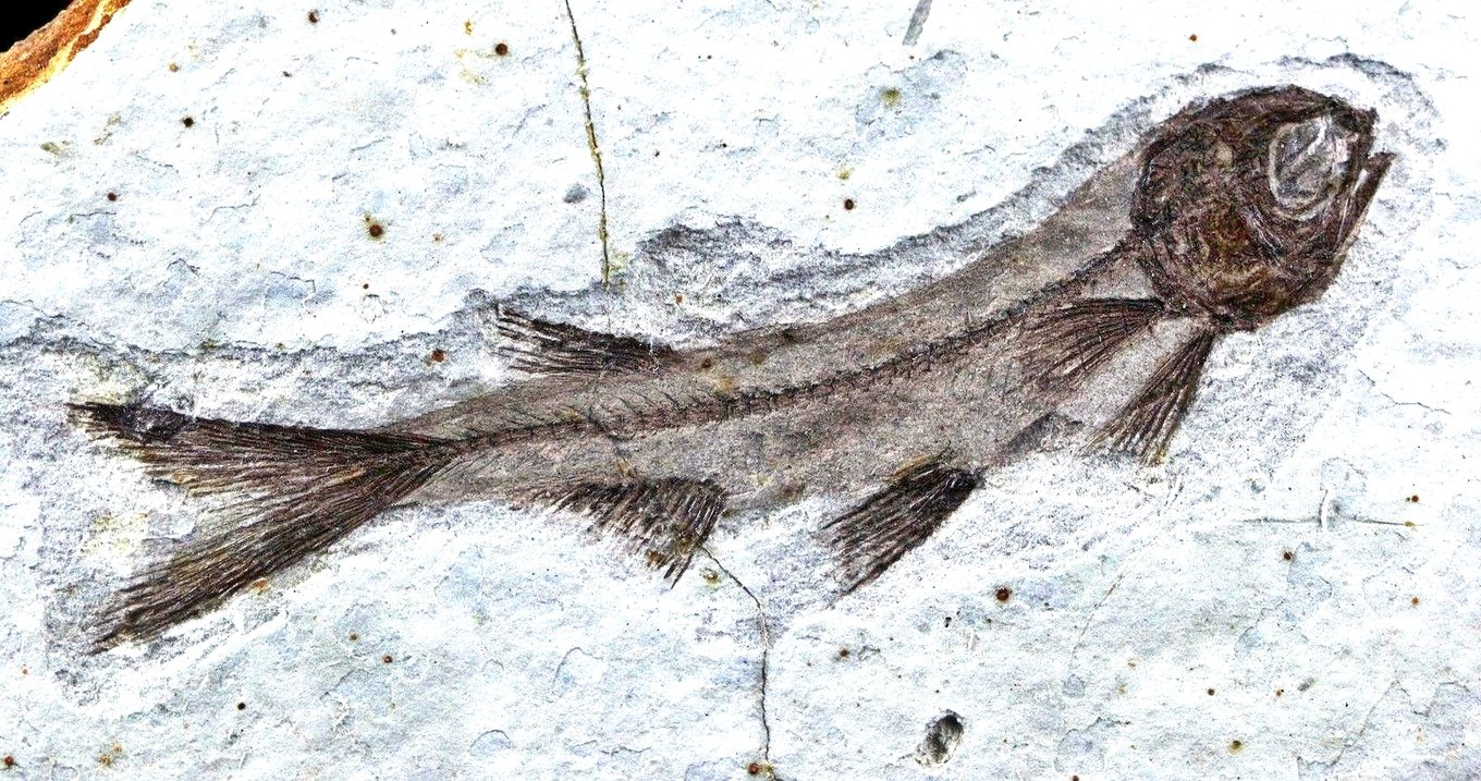 lycoptera-davidi-fossil-fish-plate_1_688064dc6ceacaf52a67e23726be2555.jpg