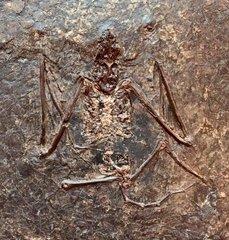 Archaeonycteris trigonodon Revilliod, 1917