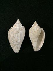 Athleta (Volutocorbis) crenulifera